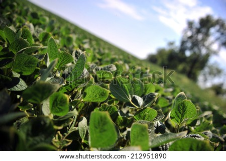 Green soy plant leaves in the cultivate field, against the sun - stock photo