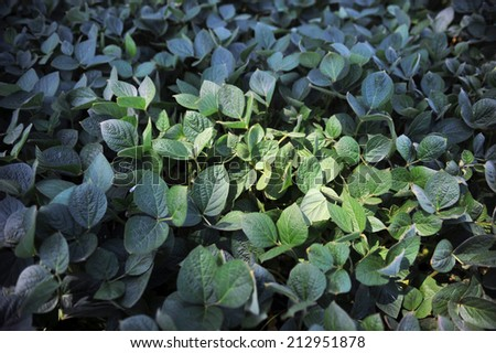 green soya leaves and bushes on the field - stock photo