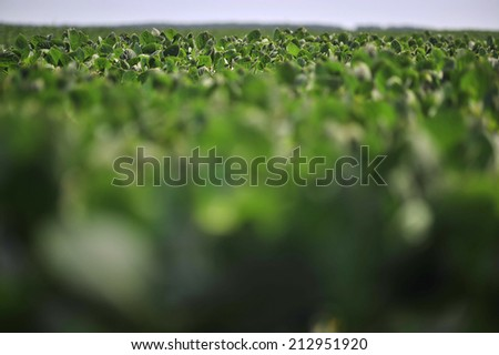 green soya leaves in the field - stock photo