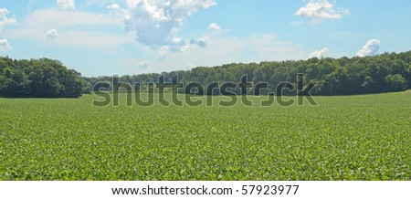 Green soybean farm field against a blue sky with clouds