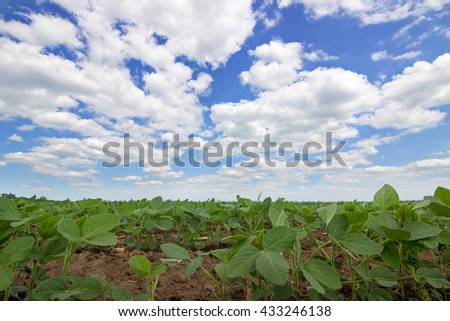 Green soybean plants close-up  Rows of soy plants in a cultivated farmers field - stock photo