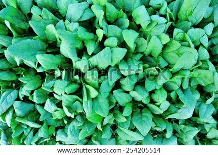 green spinach in growth at vegetable garden  - stock photo