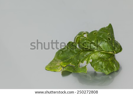green spinach straight from the garden - stock photo