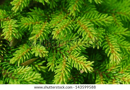 Green Spiny Leaves of Evergreen Spruce Plant