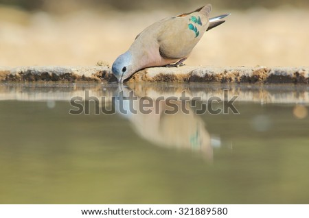 Green Spotted Dove - African Wild Bird Background - Emerald Iridescence in Nature - stock photo