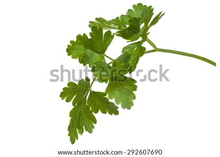 green sprig of parsley natural - stock photo
