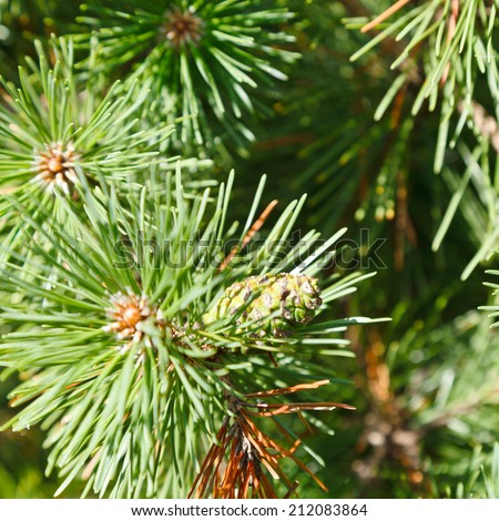 green sprigs of pine tree close up in forest - stock photo