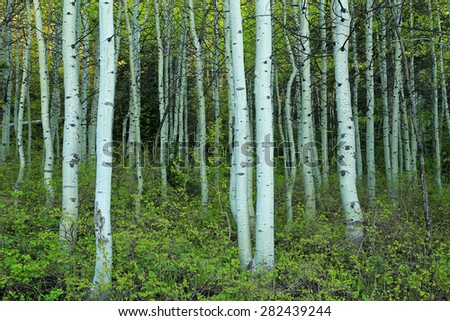Green spring aspens, Utah, USA. - stock photo