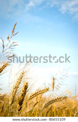 green spring grains, close up of yellow wheat ears on the field