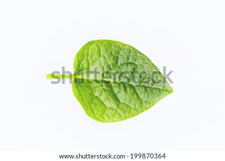 green spring leave isolated on white background - stock photo