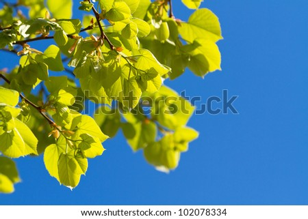 Green spring leaves over blue sky - stock photo