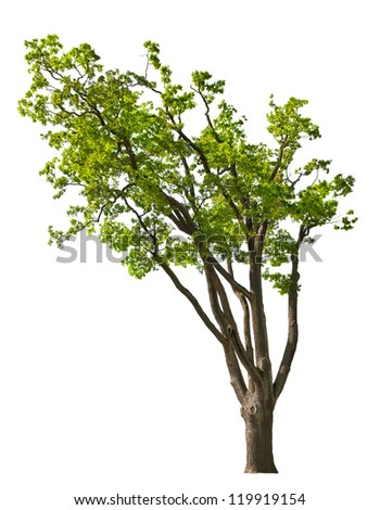 green spring oak tree isolated on white background - stock photo