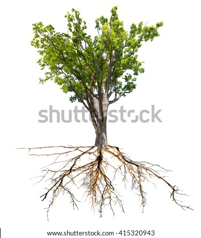 green spring oak tree with root isolated on white background