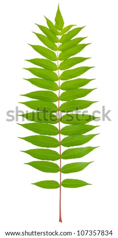 green spring twig isolated on white background - stock photo
