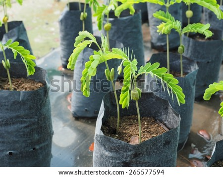 Green sprout growing from seed (Tamarind seed). - stock photo