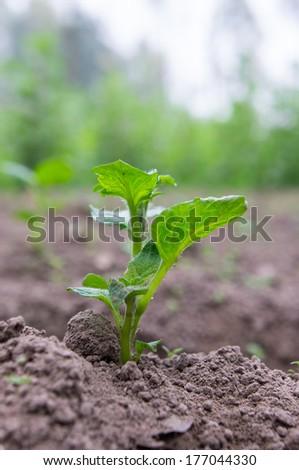 Green sprout of potato  - stock photo