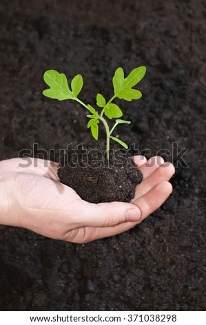 Green sprout tomato seedling in a hand on a background the soil. - stock photo