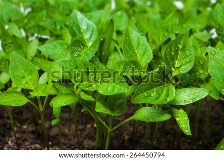 Green sprouts growing from seeds. Pepper. Close-up of green seedling growing out of soil - stock photo