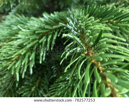 green spruce and pine branches