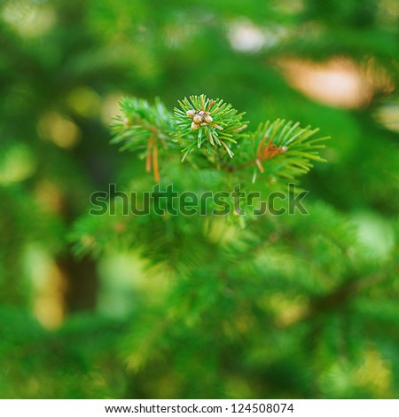 Green spruce branches close up in city park. - stock photo
