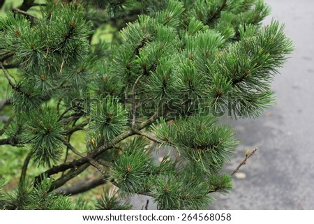 Green Spruce Tree Branches close up 7877 - stock photo