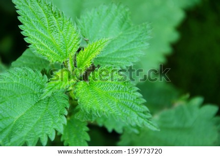 Green stinging nettle. - stock photo