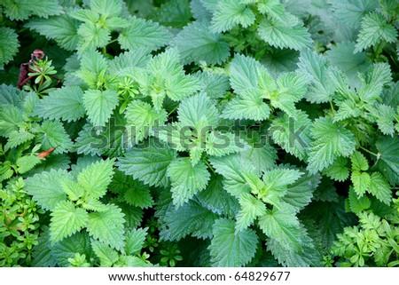 green stinging nettle - stock photo
