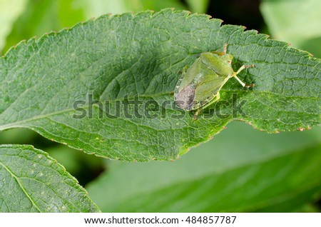 green stink bug camouflage