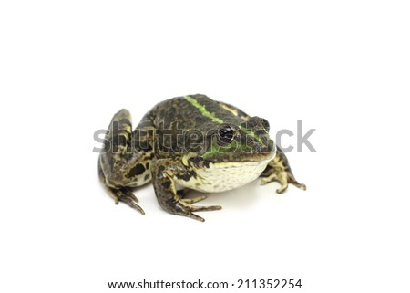 green striped marsh frog on white background