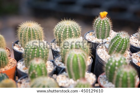 Green succulent plant / cactus in small pots with selective focus on the one with yellow flower. - stock photo