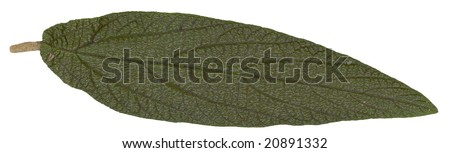 green summer leaf isolated on white