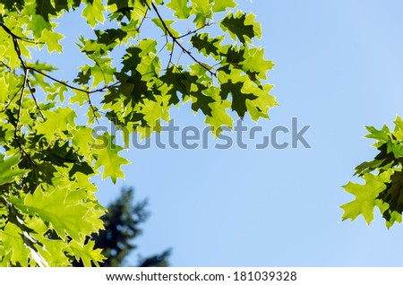 Green sunlit leaves set against a blue sky