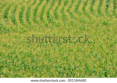 green sweetcorn field from the top view - stock photo