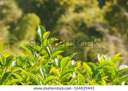 Green tea bud and fresh leaves in morning