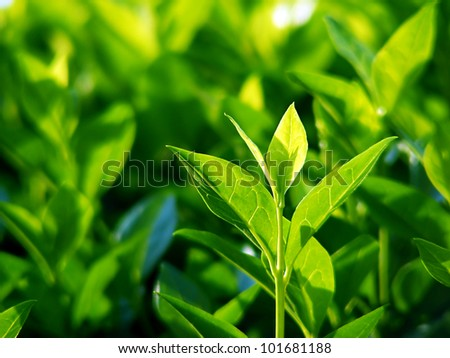 Green tea bud and fresh leaves. Tea plantations. - stock photo