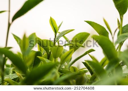Green tea bud and leaves.  - stock photo
