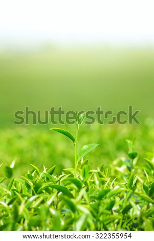 Green tea bud and leaves, Green tea field in the North of Thailand - stock photo