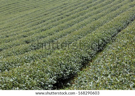 green tea farm on hill of mountain in morning is travel of thailand