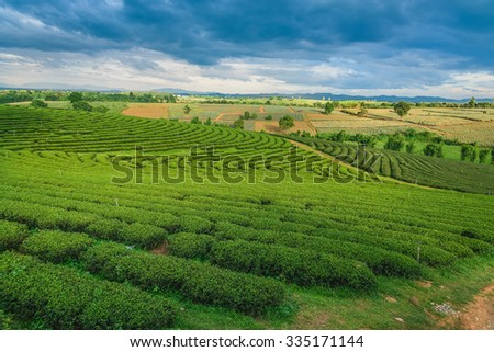 Green tea farm, Thailand