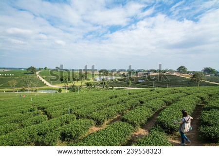 Green tea field, Chiangrai in Thailand
