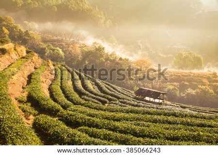 Green tea field in Doi Angkhang, Chiang mai, Thailand