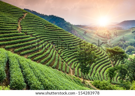 Green tea garden on the hill,china - stock photo