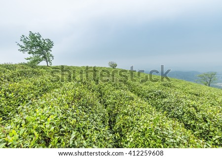 green tea garden on the top of the mountain