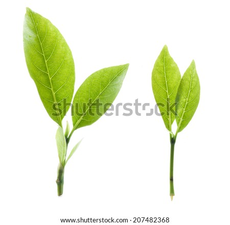 Green tea leaf isolated on white background. - stock photo