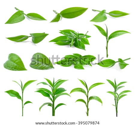 Green tea leaf isolated on white background, (dimensions 9800 X 8744 pixels) - stock photo