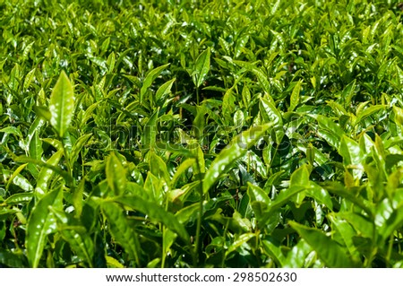 Green Tea leaves in Munnar. Kerala. India. Background texture - stock photo