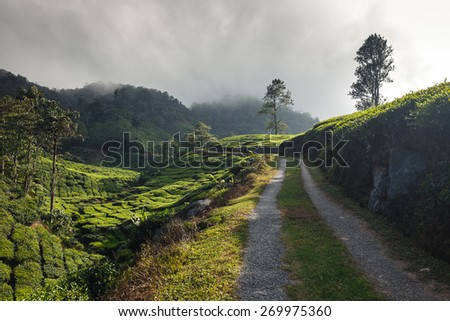 Green tea leaves. Tea plantations, Cameron Highlands, Malaysia