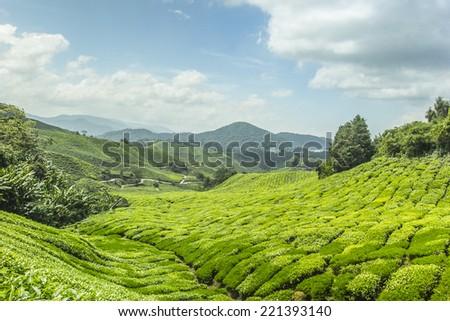 Green tea plant  Cameron highland in Malaysia - stock photo