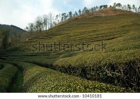green tea plantation - stock photo