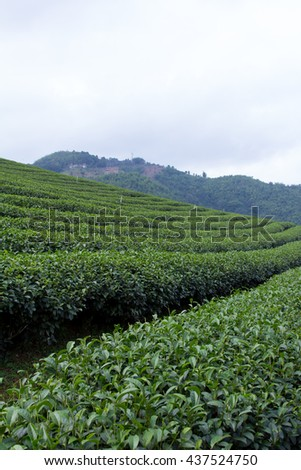 green tea plantation in the north of Thailand in the morning.